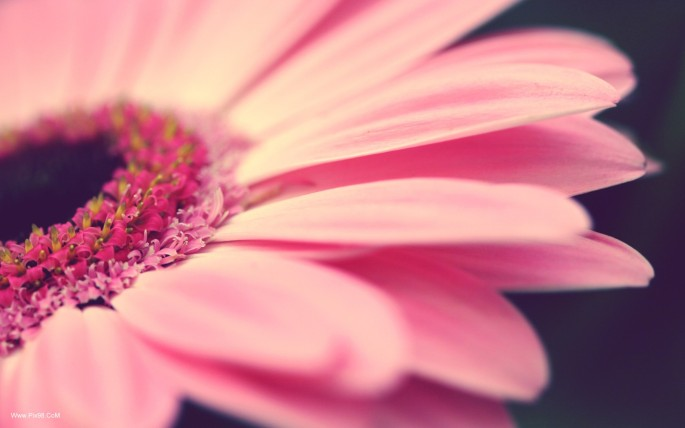 Pink-Flower-With-High-Revolution-